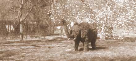 Sepia Tone Topiary Elephant